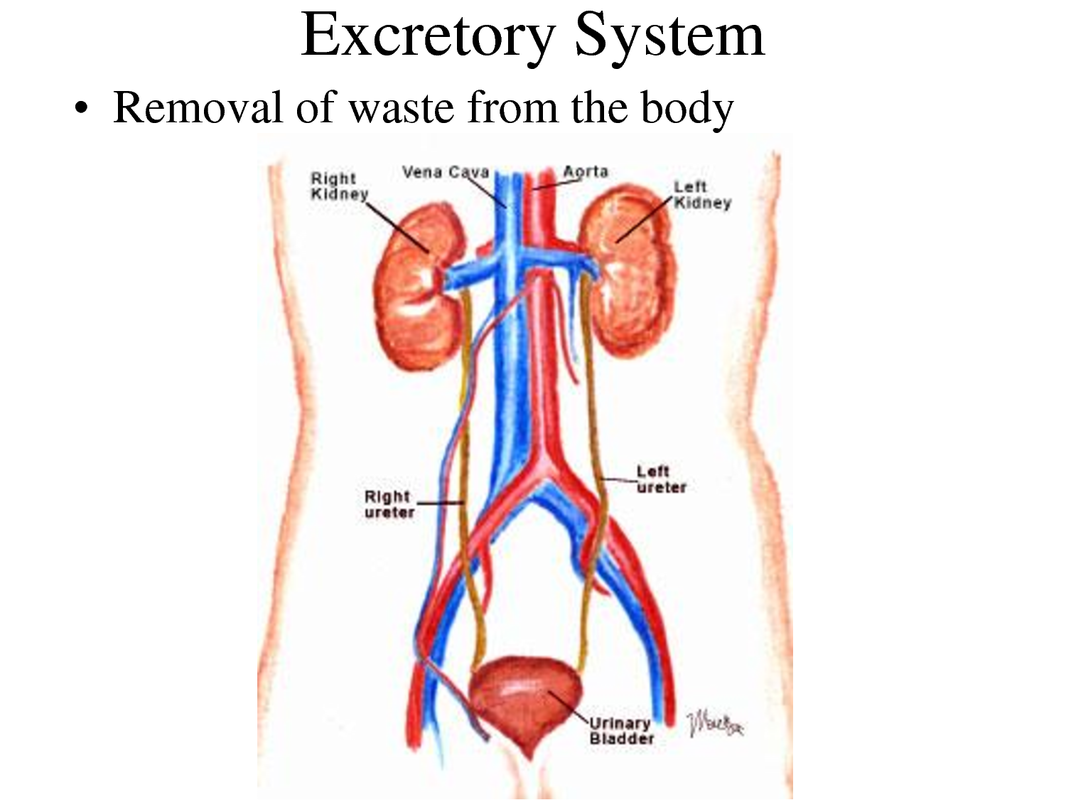 Excretory System My Human Body Project